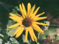 The poser sunflower is a compound flower with a brown disk and bright yellow ray flowers the plant may grow to several feet in height with multiple branches of mightylinksfo